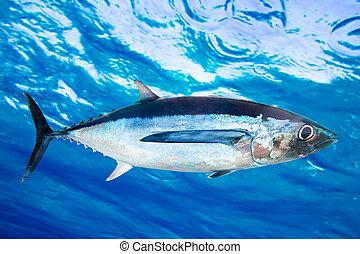 Albacore tuna fish Thunnus Alalunga underwater ocean