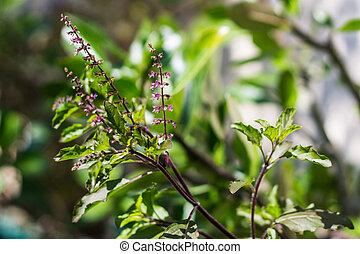 albahaca, árbol, santo