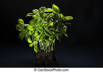 albahaca, tierra, ramo, unido, fresco