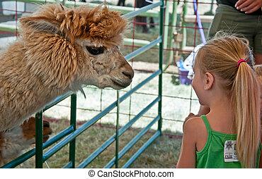 ALBANY, OR - JULY 16 - Linn County Fair Child and Alpaca - ...
