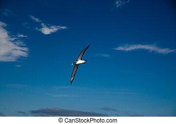 Albatross in Flight
