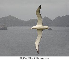 albatrossen vliegende, koninklijk, underwing