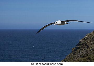 albatroz, preto-browed, vôo