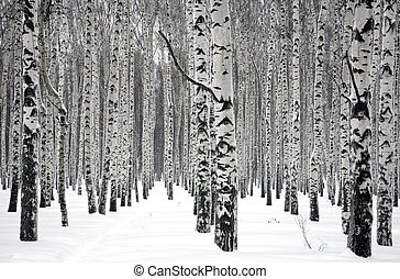 alberi inverno, betulla