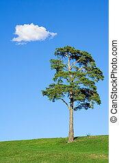 albero abete