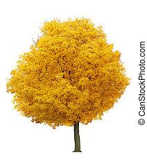 albero, acero