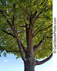 albero, acero, ombra