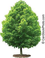 albero., acero