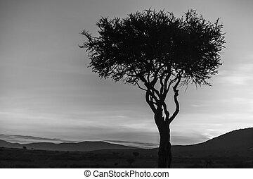 albero africano, -, il, ultimo, luce giorno, in, sunset., kenya.