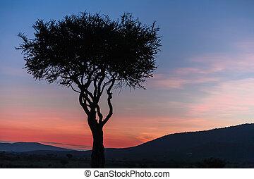 albero africano, in, il, ultimo, daylight., sunset., kenya.
