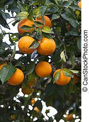 albero, arance