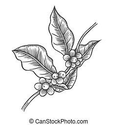 albero caffè, illustrazione