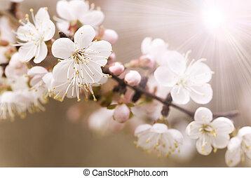 albero ciliegia, giapponese