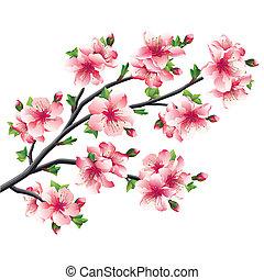 albero ciliegia, giapponese, sakura, fiori, ramo