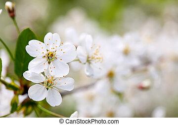 albero ciliegia, ramo, in, offuscamento, fondo