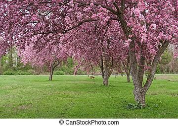 albero, crabapple