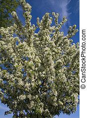 albero, fiori, crabapple, fiore, pieno, bianco