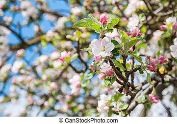 albero, fioritura, closeup, crabapple