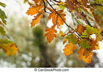 albero, Foglie, cadere, quercia, natura