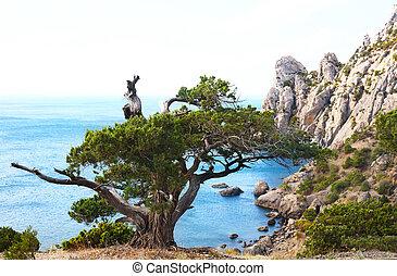 """albero ginepro, su, roccia, (""""novyj, svit"""", riserva, crimea, ukraine)."""