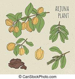 albero., illustration., colorito, frutta, isolato, medico, ayurvedic, mano, fiori, corteccia, foglie, vendemmia, disegnato, pianta, arjuna, set., botanico