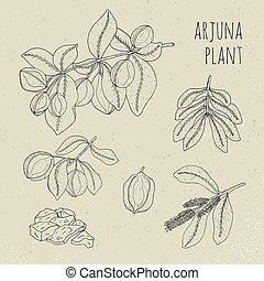albero., illustration., frutta, vendemmia, medico, isolato, ayurvedic, fiori, pianta, corteccia, contorno, foglie, disegnato, mano, arjuna, set., botanico