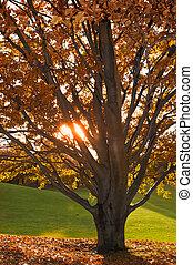 albero, in, autunno, il, sole brilla, attraverso, il, rami,...