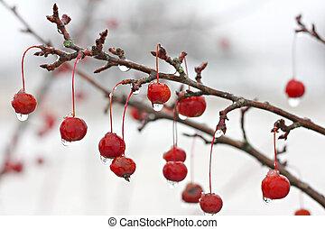 albero inverno, ghiaccio, crabapple, ramo, coperto