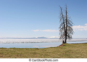 albero, lago yellowstone