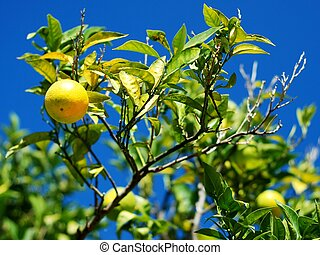 albero limone, con, molti, limoni
