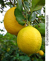 albero, limoni