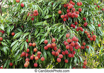 albero, lychees, appendere