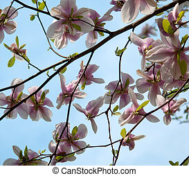 Primavera albero magnolia azzurramento for Magnolia pianta prezzi