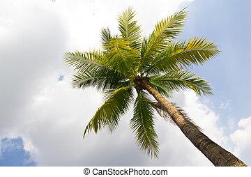 albero noce cocco