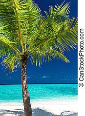 albero noce cocco, tropicale, singolo, palma, spiaggia bianca