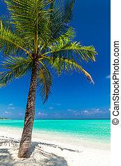 albero noce cocco, tropicale, singolo, spiaggia palma