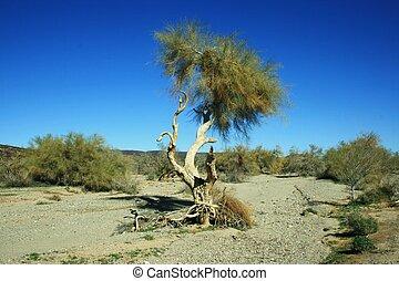 albero, nodoso, az, mesquite