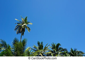 albero palme cocco, su, cielo blu