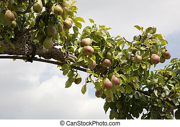 albero pera, arco