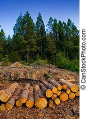 albero pino, abbattuto, per, industria legname, in, tenerife