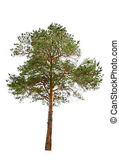 albero, pino