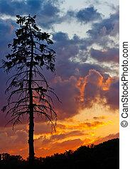 albero pino