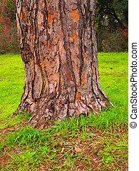albero, pino, di