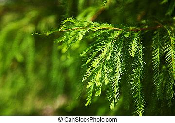albero, pino, fondo