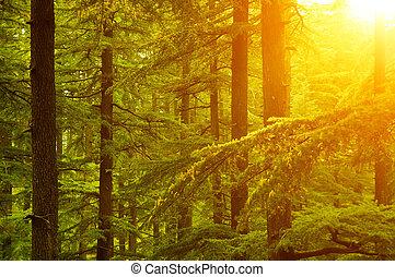 albero pino, in, dorato, luce sole