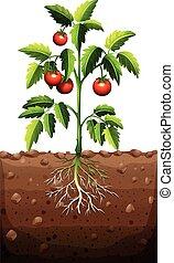 albero, pomodori
