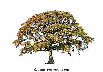 albero quercia, in, autunno