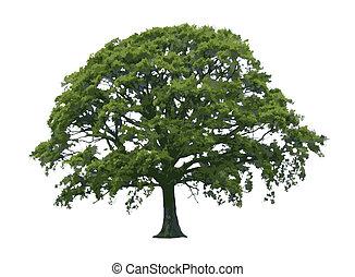albero quercia, in, estate