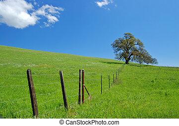 albero quercia, in, primavera