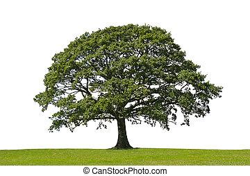 albero quercia, simbolo, di, forza